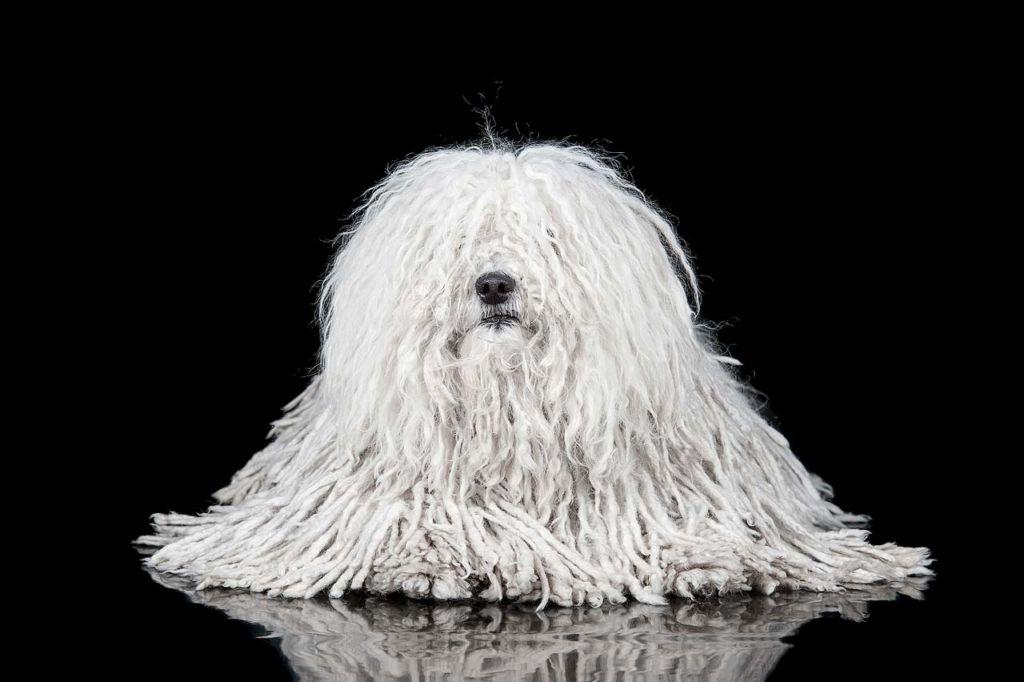 Описание породы венгерской водяной собаки или пули