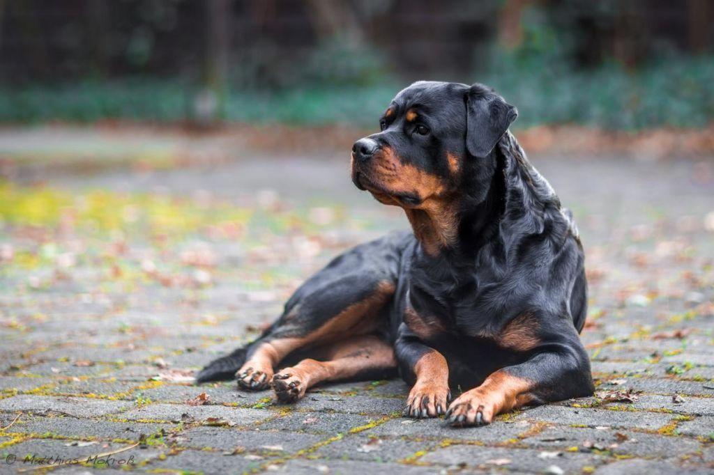 Ротвейлер - рабочая собака с бойцовским бэкграундом