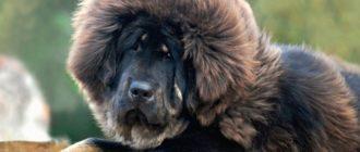 15 самых редких пород собак в мире