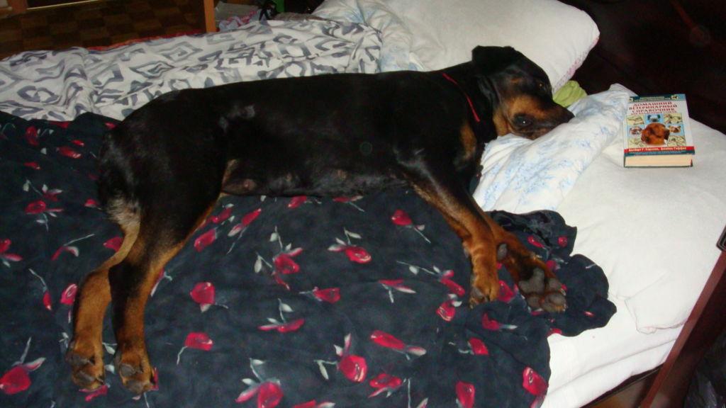 Любимое место для сна у ротвейлеров – хозяйская кровать, чего допускать нельзя