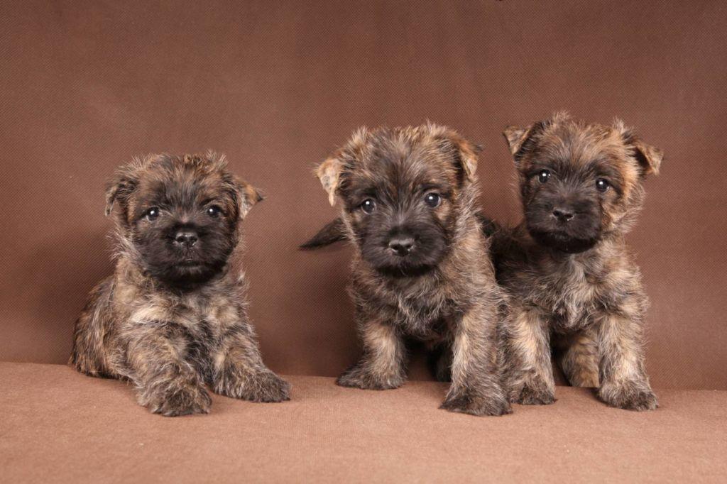 Керн терьер не считается элитной собакой и ее щенков без родословной можно купить и за 50 долларов