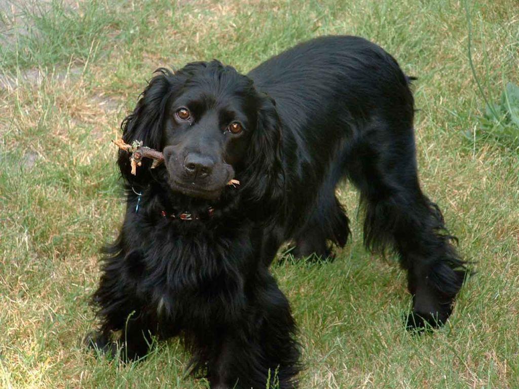 Полное описание породы собак английский кокер спаниель