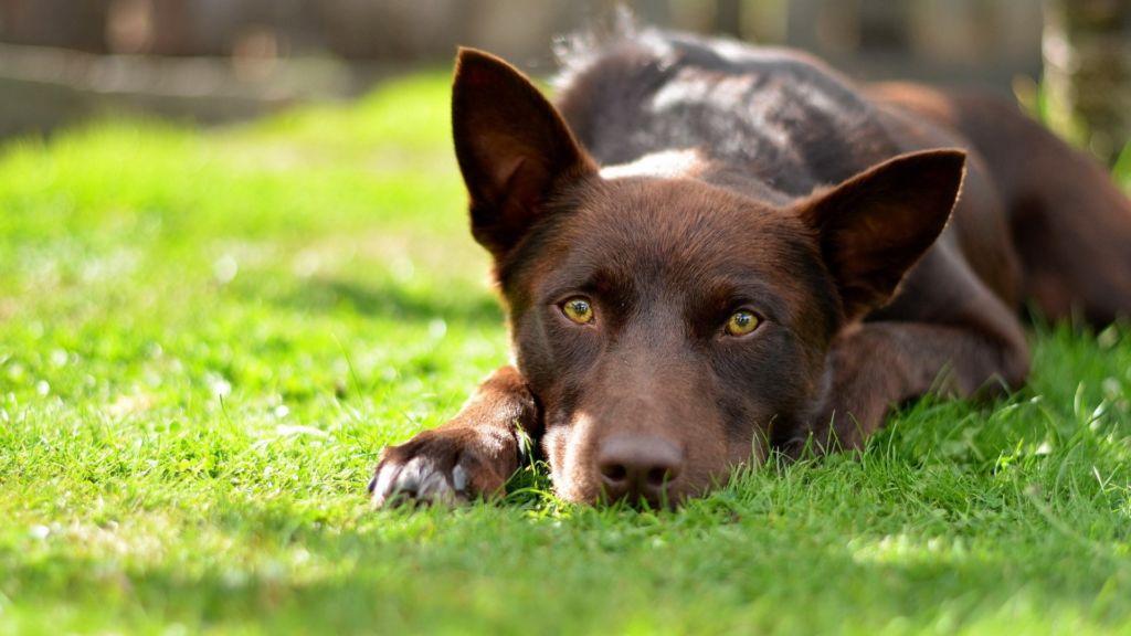 Подробное описание породы собак австралийский келпи