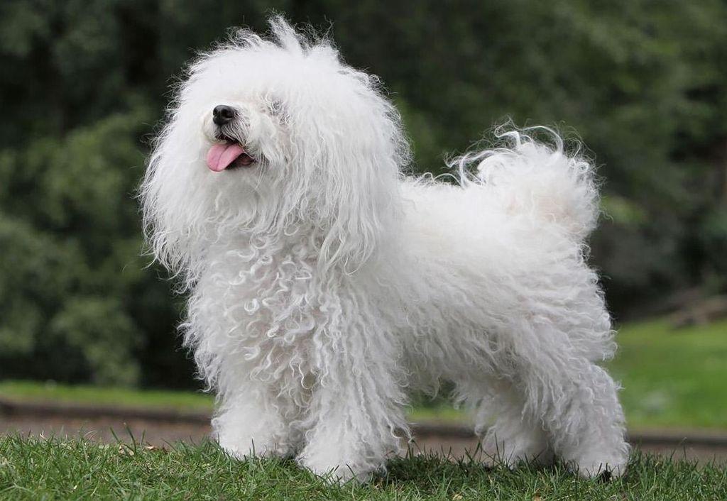 Собака болоньез