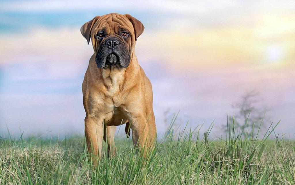 Подробная характеристика породы собак бульмастиф