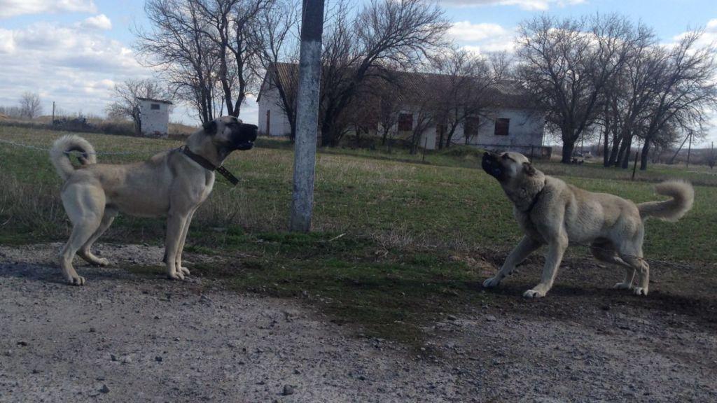 Кангалы не любят других собак