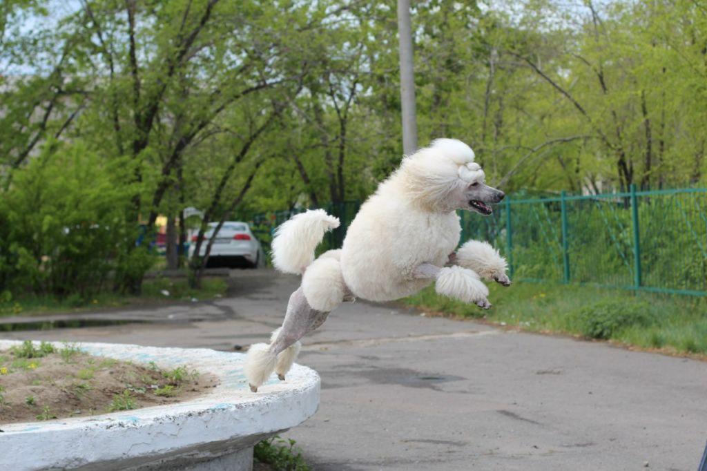 Собака с высоким интеллектом способна быстро усваивать основную программу