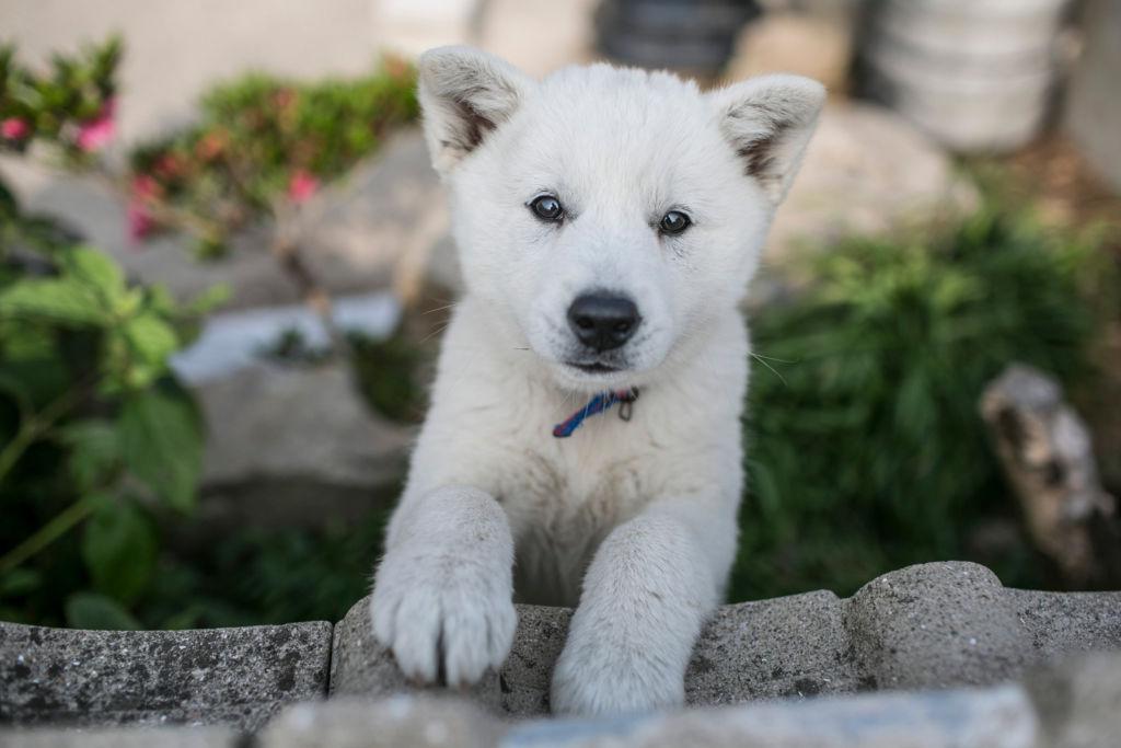 Описание и характеристика корейской породы собак чиндо