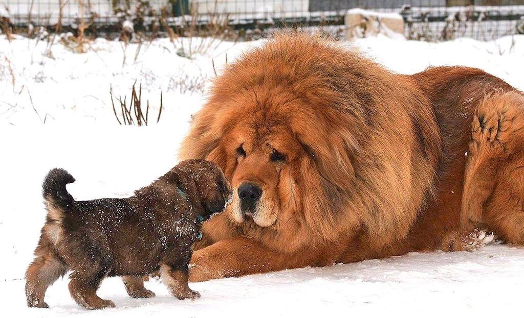 самые дорогие собаки