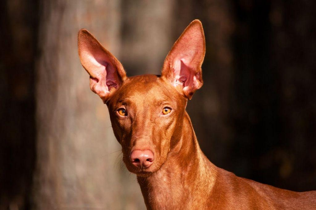 Фараонова собака выделяется стоячими ушами