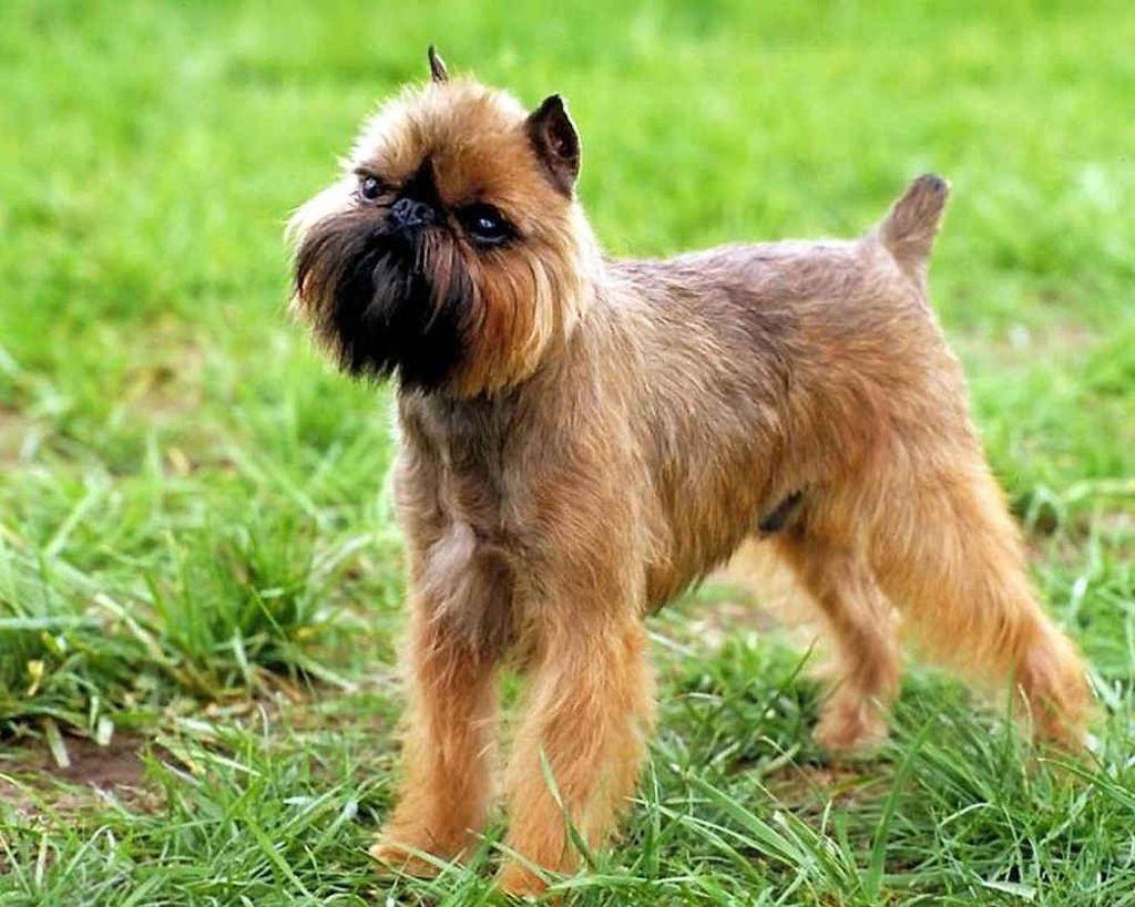 Разновидности породы собак гриффон