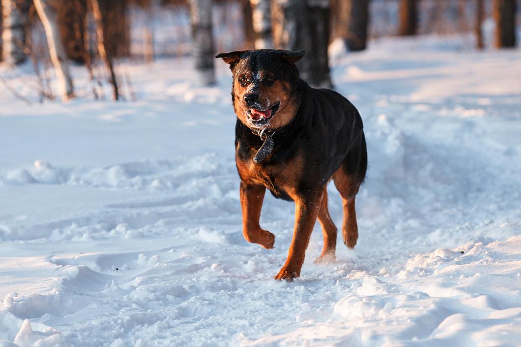 Современный ротвейлер считается немецкой собакой