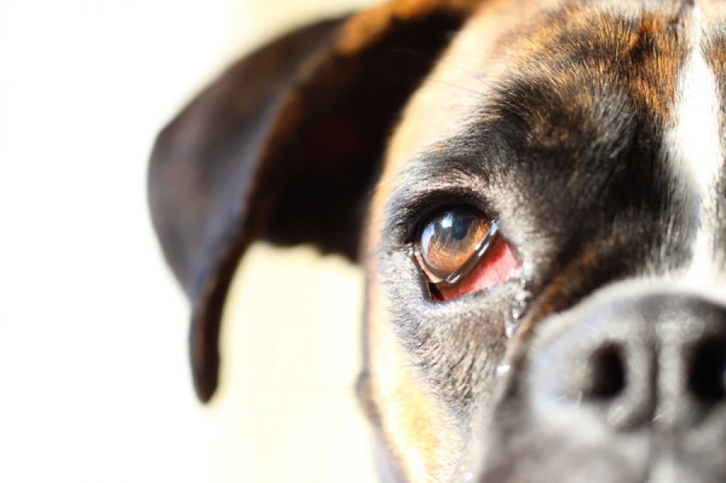 При любой форме конъюнктивита собака становится беспокойной