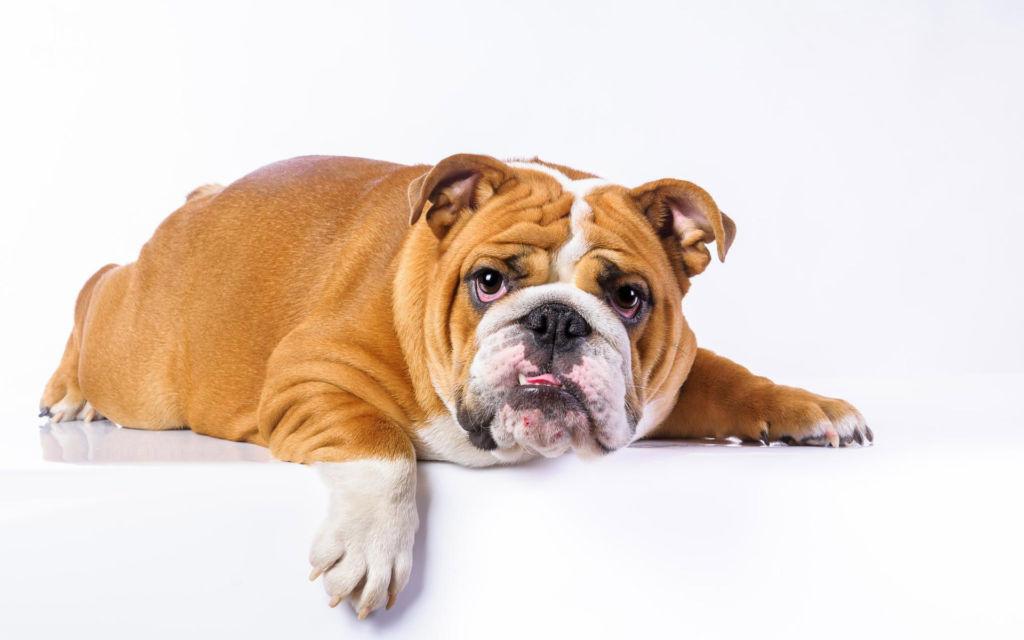 Описание породы собак английский или королевский бульдог