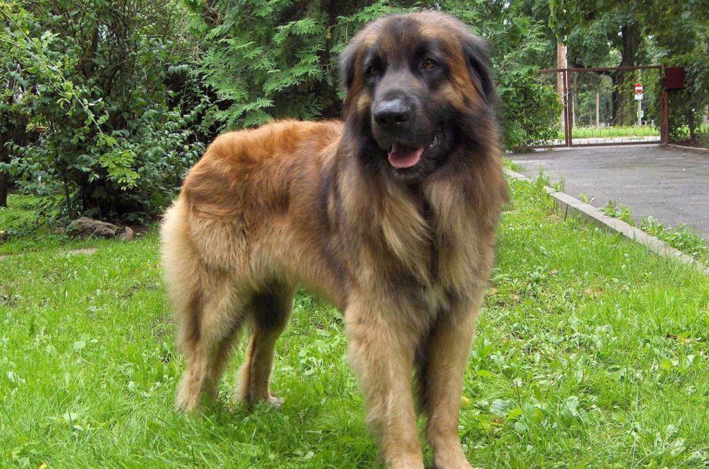 Полное описание собаки породы леонбергер