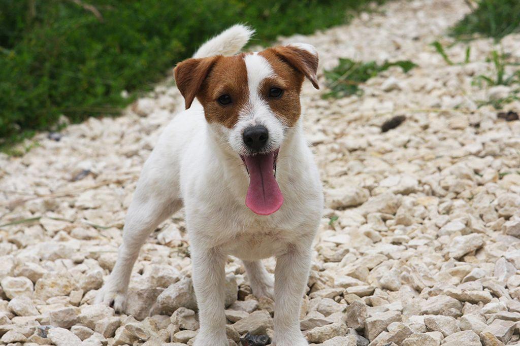 Собака из Маски: название породы (джек рассел терьер ...