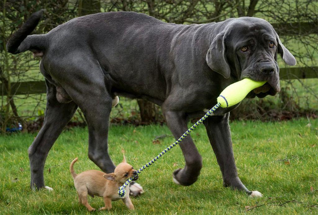 Эти собаки очень игривы, независимо от возраста