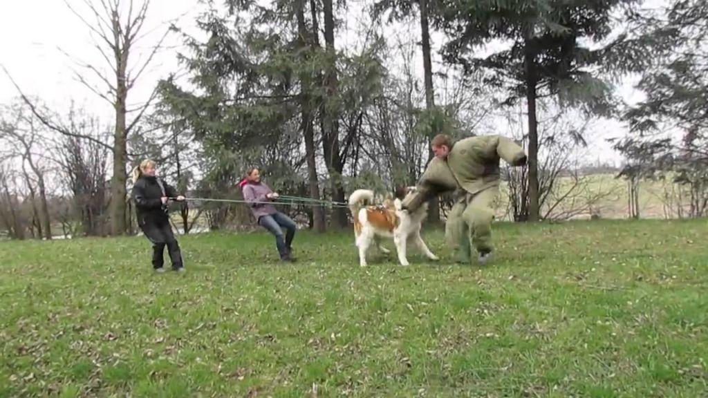 Нападают собаки данной породы всегда молча и без предупреждения