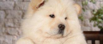 Собаки похожие на медвежонка
