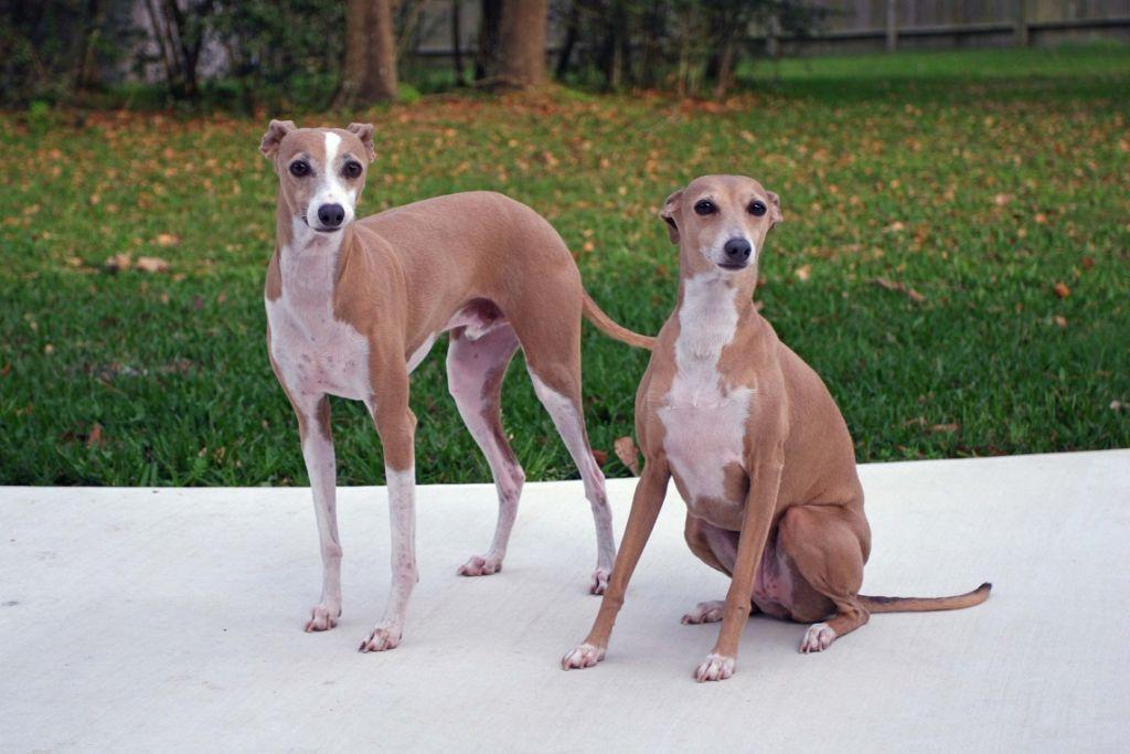 Подробное описание породы собак английская борзая или грейхаунд