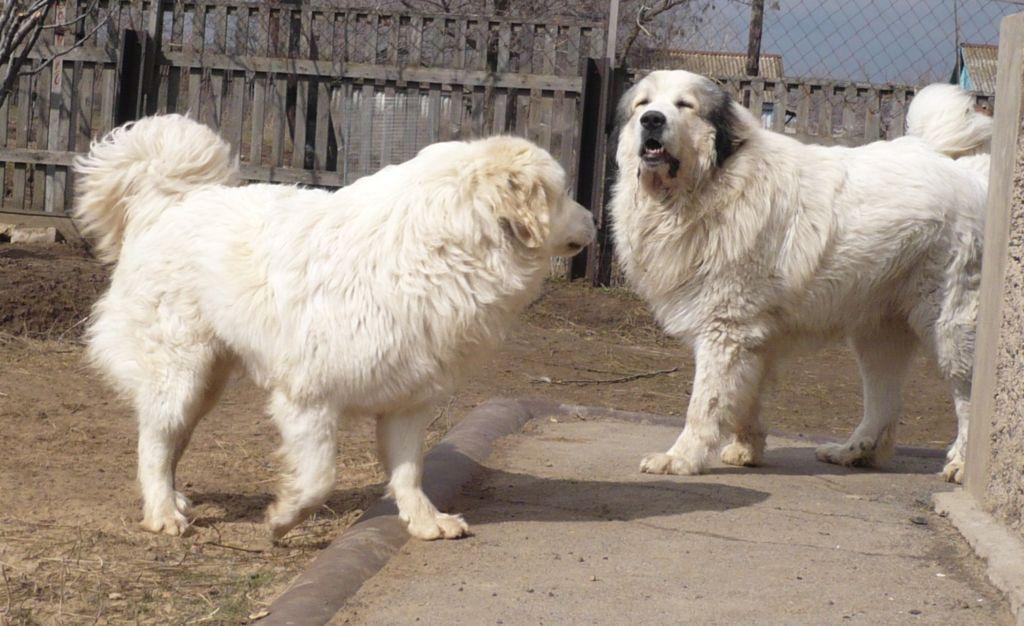 Подробное описание и характеристика пиренейской горной собаки
