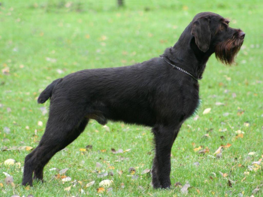 Описание охотничей породы собак дратхаар