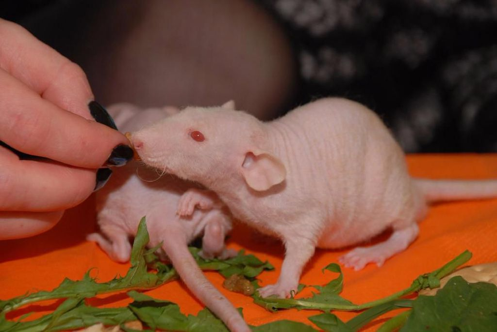 Крысят рассаживают в отдельные клетки с 25-28 дня