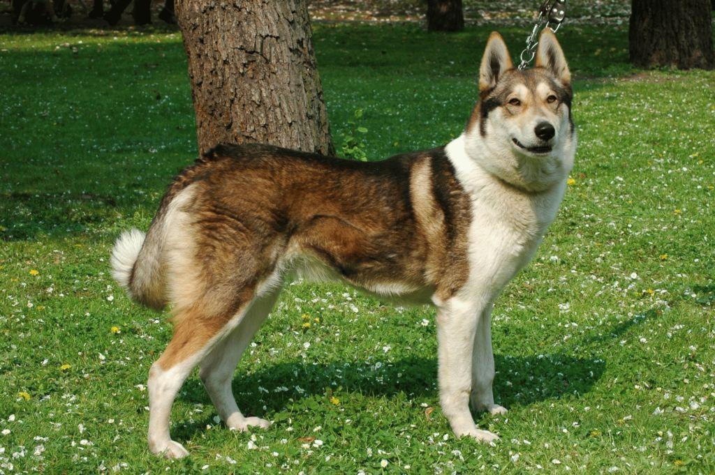 5 разновидностей породы собак лайка и их характеристики