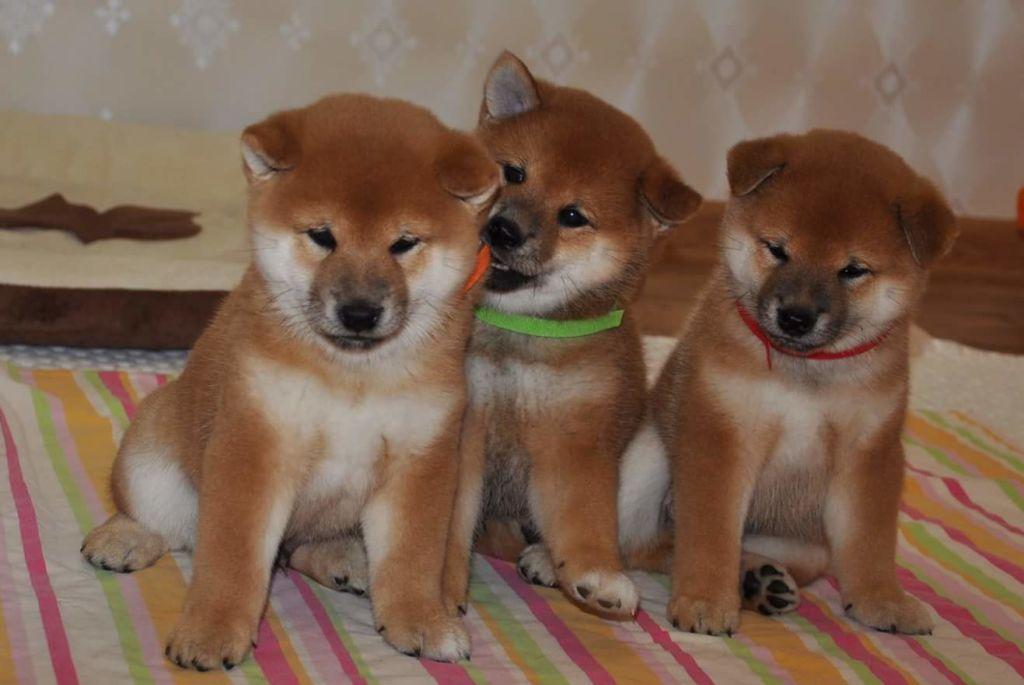 Описание японской породы собак сиба ину (шиба ину) и стоимость щенка