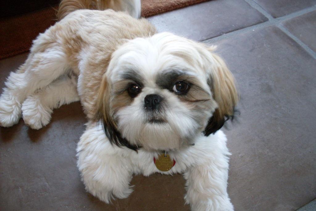 Подробное описание и характеристика породы собак ши тцу