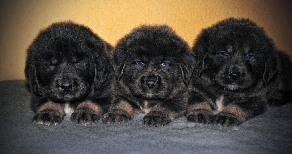 Характеристика породы собак тибетский мастиф