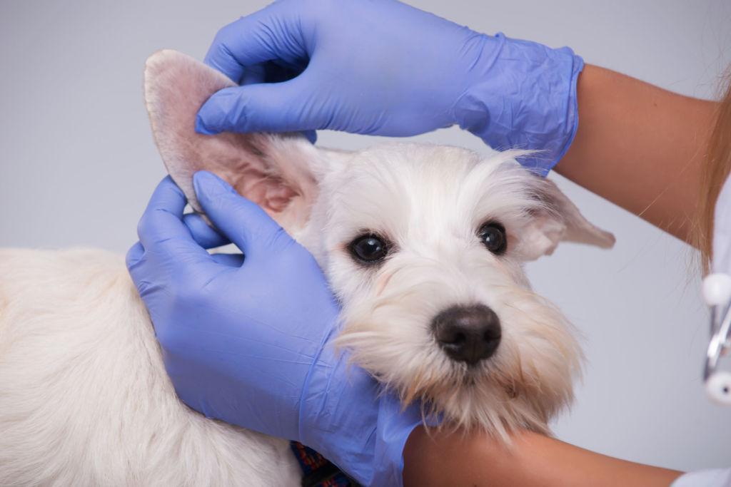 Как правильно чистить уши собаке в домашних условиях