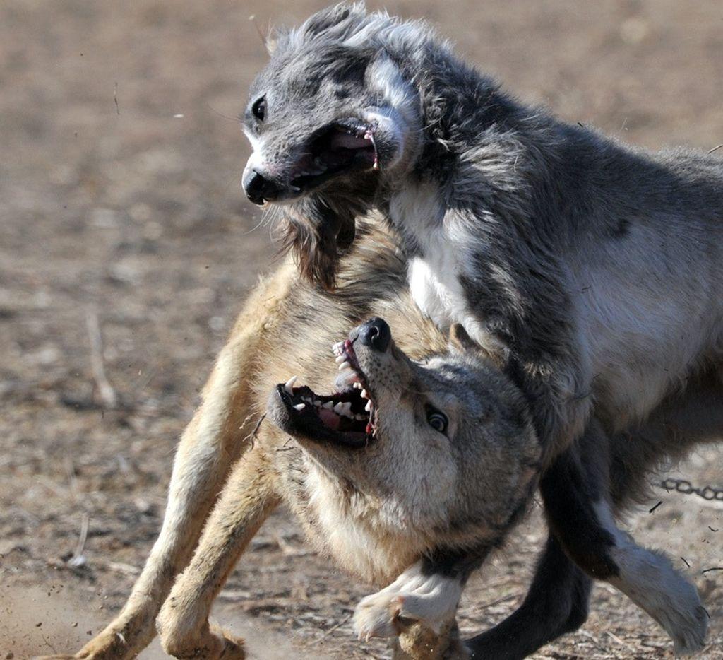 Собаки-волкодавы