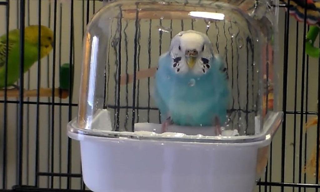 Не следует заставлять попугая насильно принимать ванну