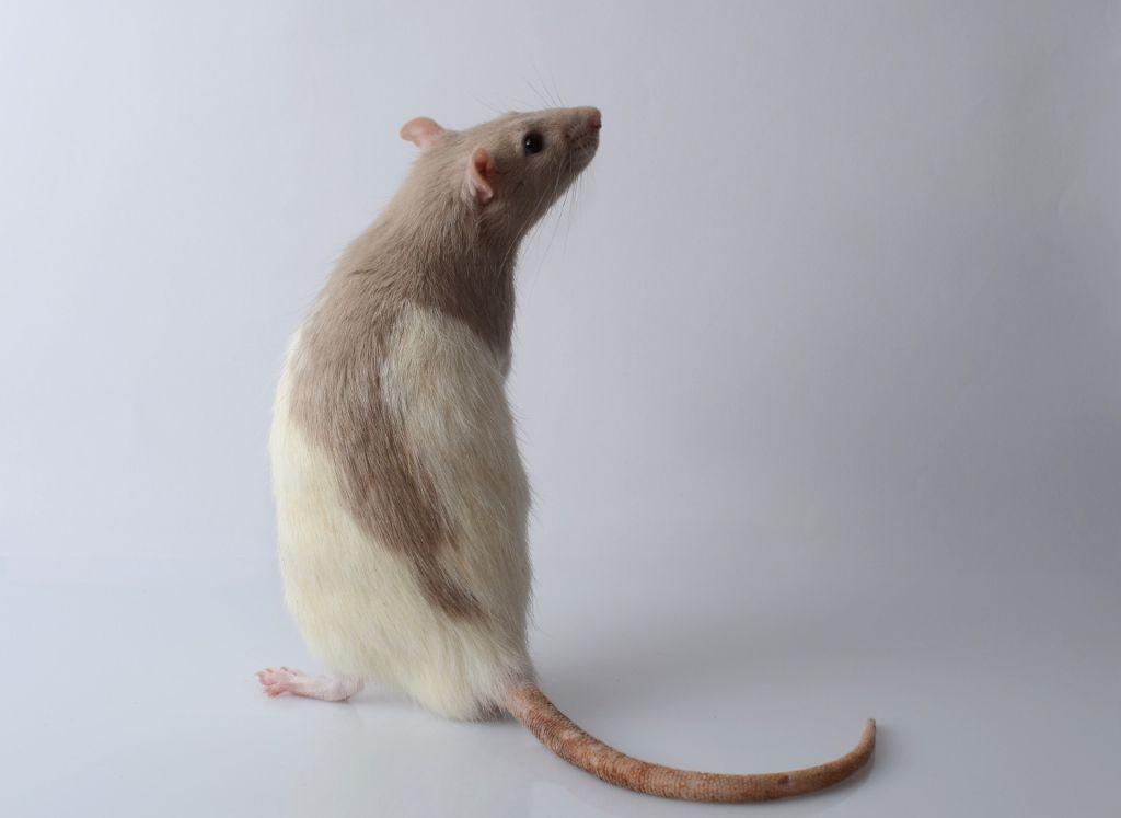 Декоративная крыса с маркированным окрасом