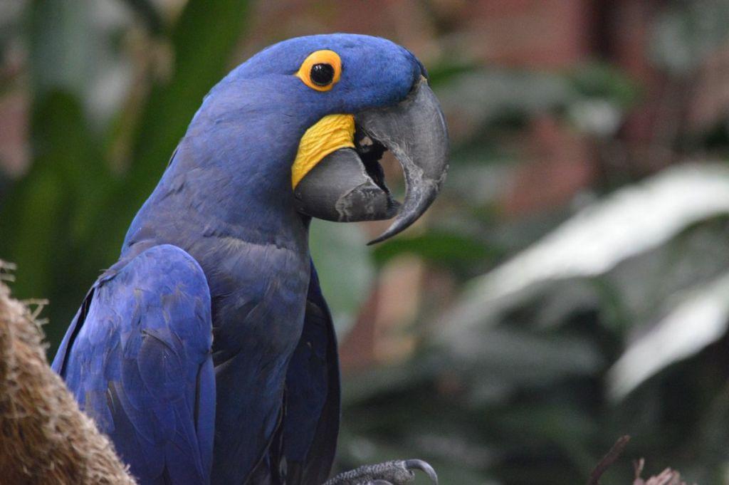 Гиацинтовый ара является вымирающим видом в связи с охотой на птиц и их торговлей