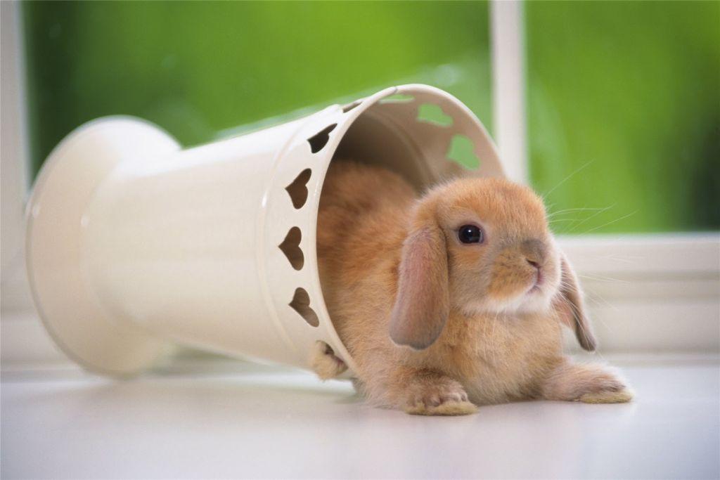Содержание декоративного кролика требует серьезного подхода и ответственности