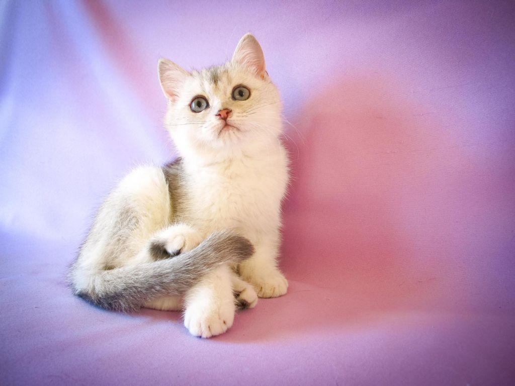 Покупать породистого котенка лучше всего в специализированном питомнике
