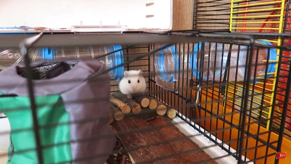 Даже если хомяку хорошо жить в клетке, он не упустит возможность прогуляться по квартире