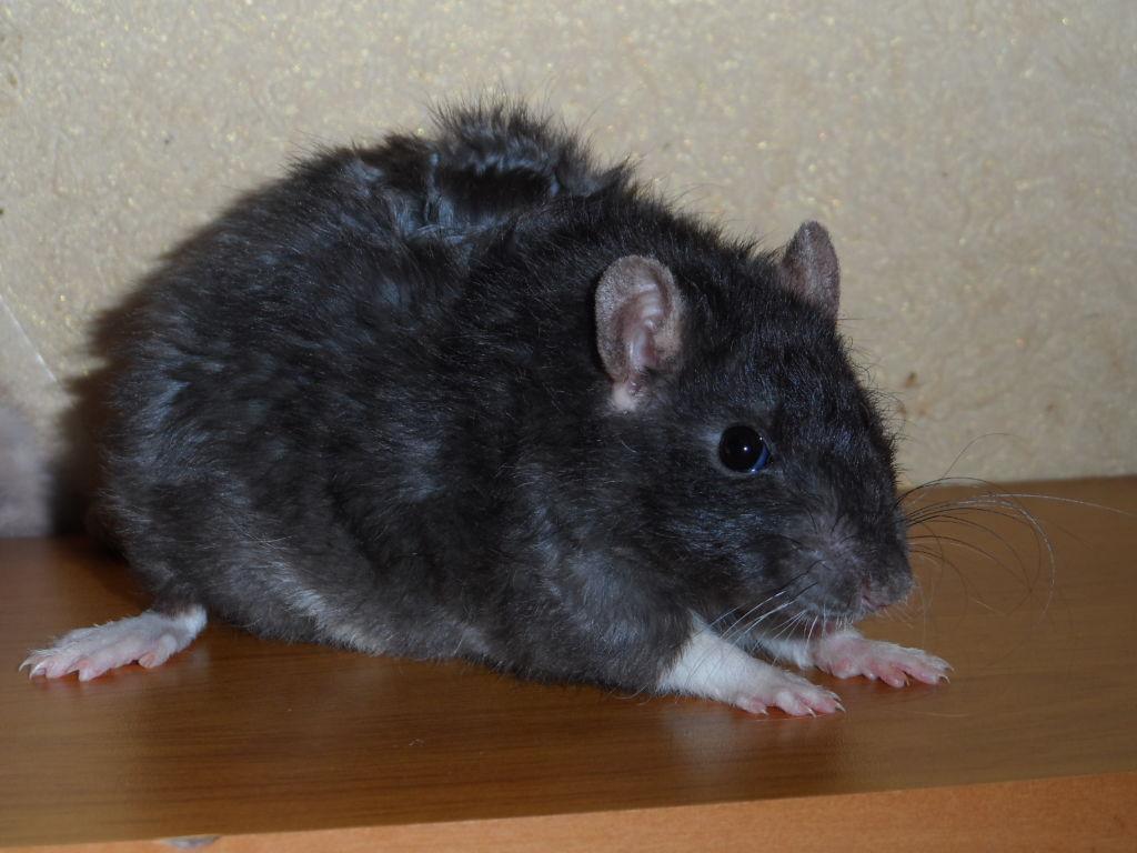 Волнистая крыса вельвет