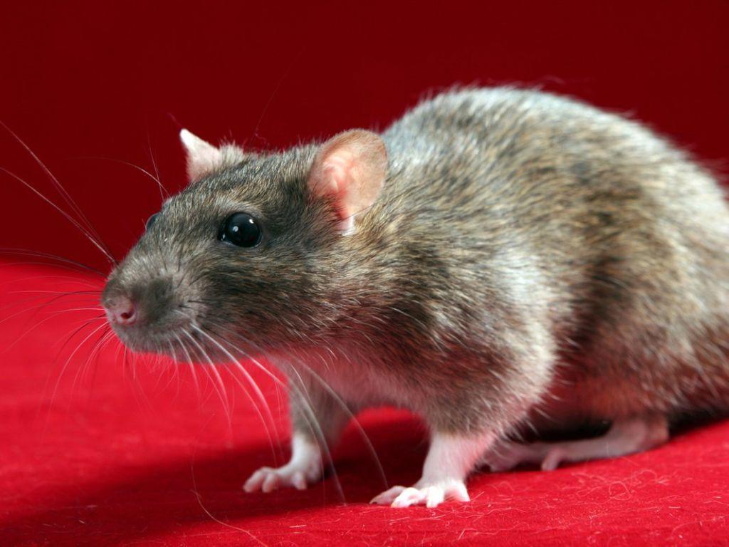 Крыса пасюк - это обычная серая крыса