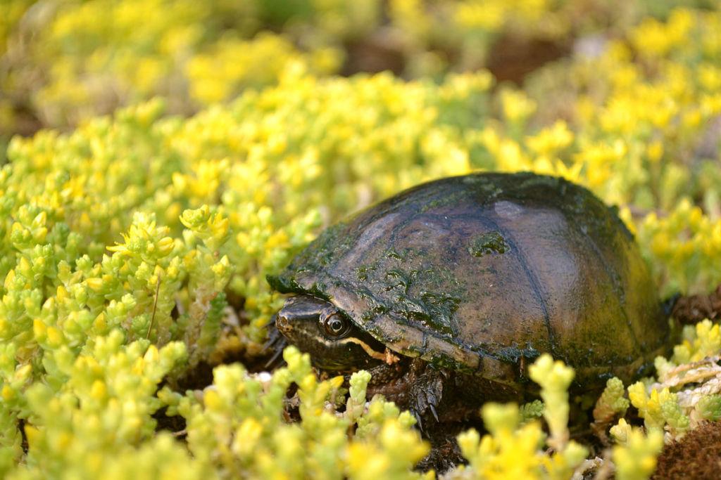 Мускусная черепаха – идеальный вариант для тех, кто решил разводить в аквариуме этих животных