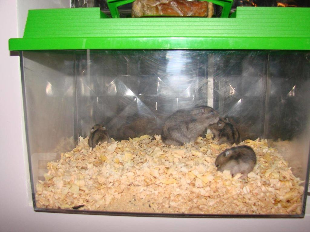Что нужно знать для успешного спаривания хомяков в домашних условиях