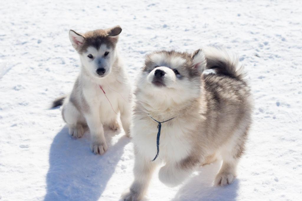 Подробное описание и характеристика породы собак аляскинский маламут