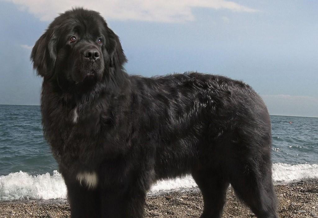 Ньюфаундленд (водолаз) – большая порода собак, спасатель, помощник