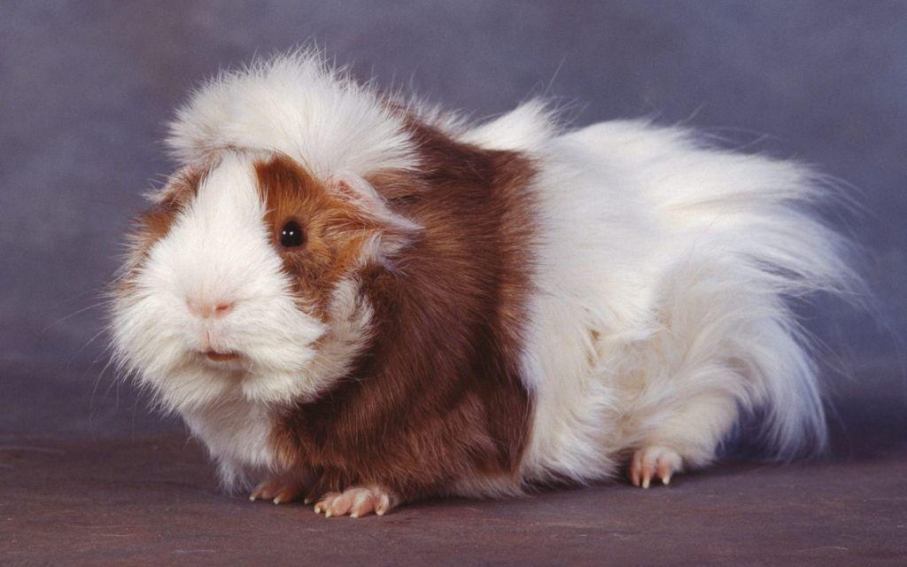 Морские свинки породы розетка считаются неприхотливыми и маловосприимчивыми к болезням животными