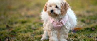 Подробное описание породы собак гаванский бишон или гаванская болонка