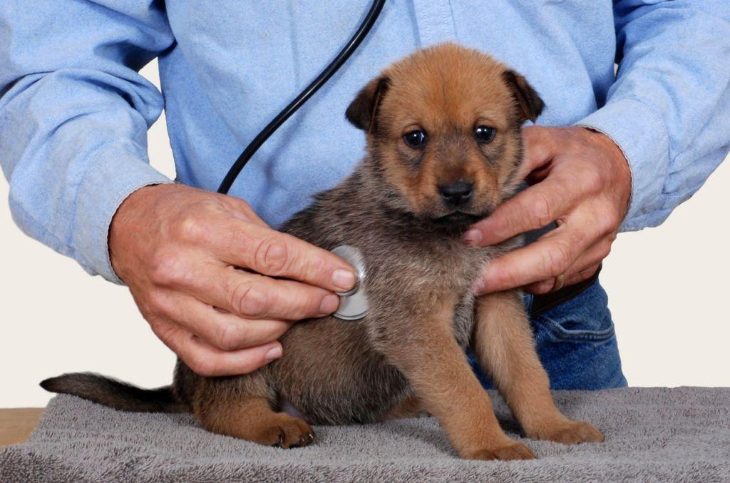 Что делать, когда у собаки кашель?