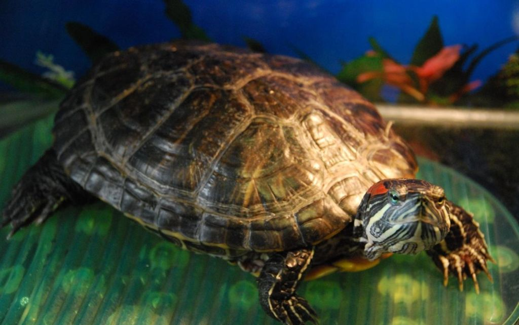 Некротический стоматит, столь распространенный у змей, у черепах встречается не слишком часто