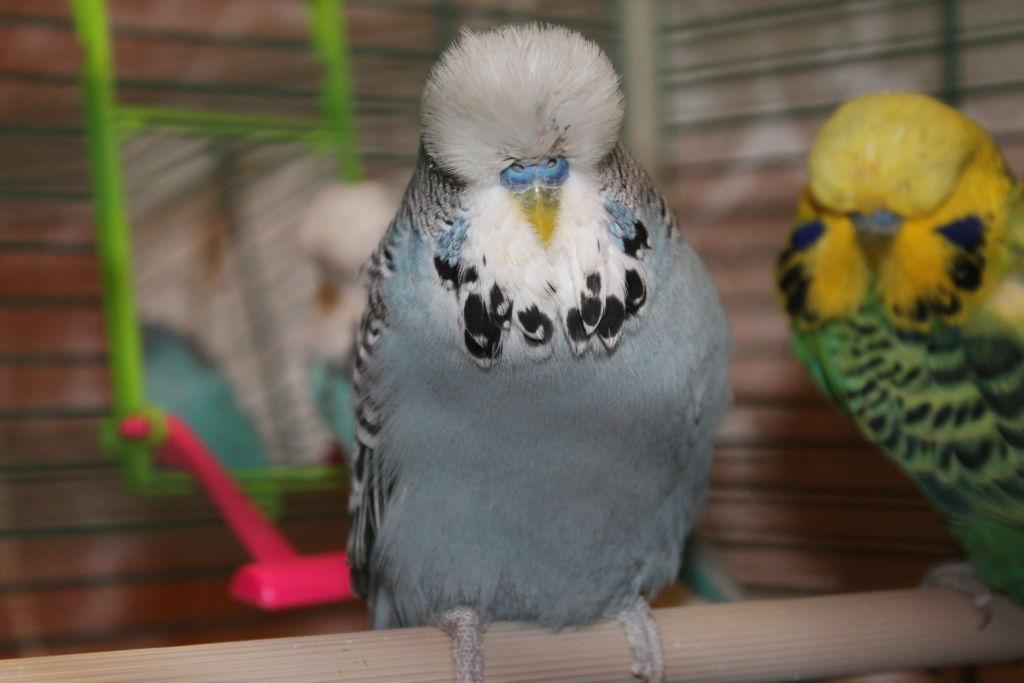 Волнистый выставочный попугай Чех